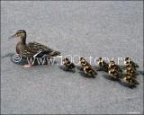 ducks 160x128 Утки на зебре